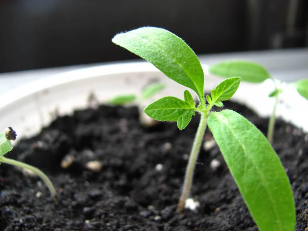 Should I Fertilize Seedlings?