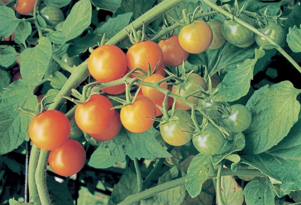 How to Use Calcium Nitrate for Tomato Plants