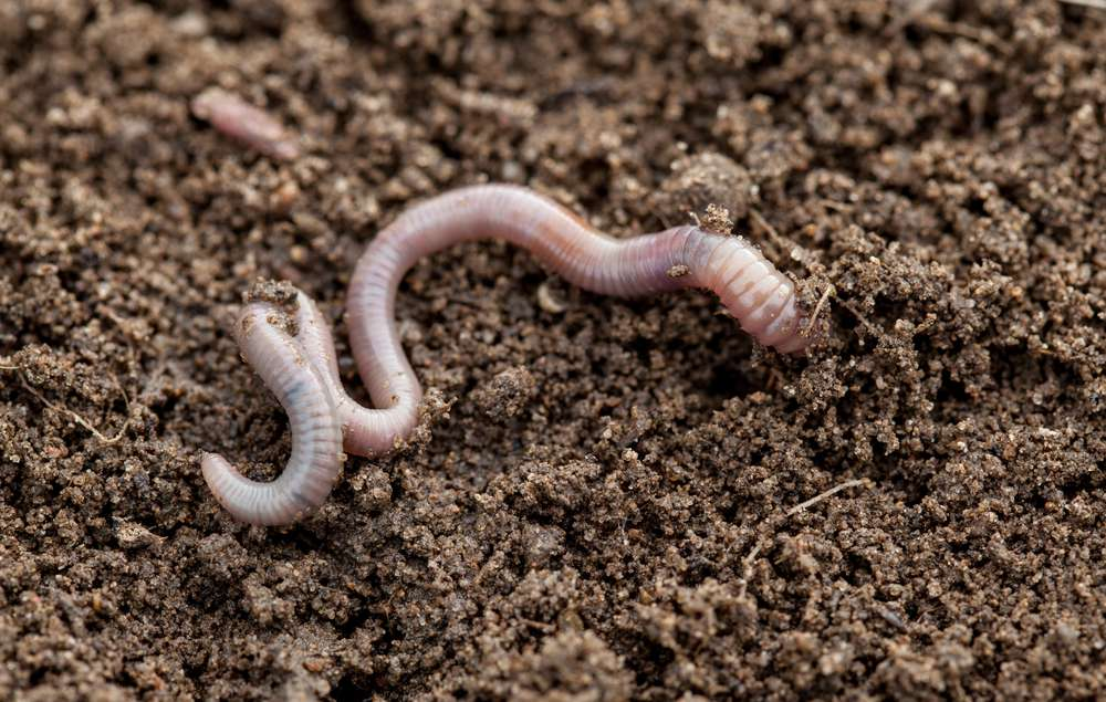 How to Attract Earthworms to Your Garden